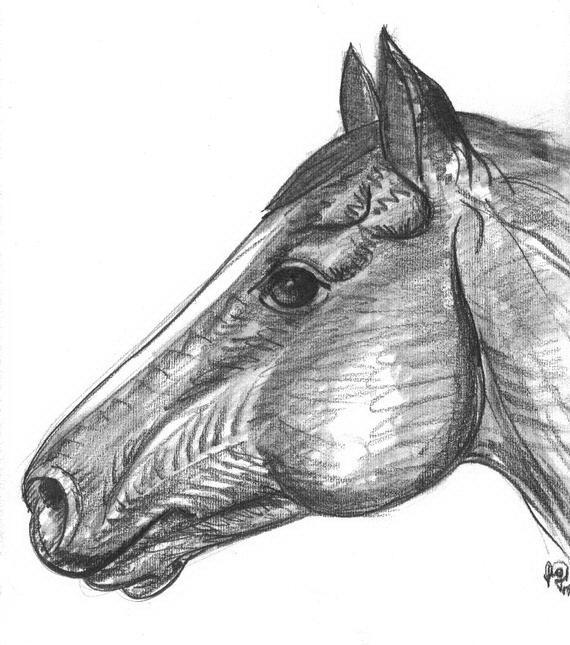 Cavalli Da Colorare Disegni Gratis
