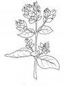 fiori di origano da colorare