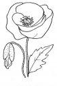 disegno di papavero
