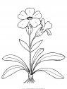 natura fiori primule 03