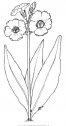 natura fiori primule 05