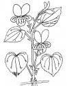 pianta di viola, stampa e colora