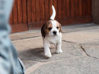 Beagle Cuccioli