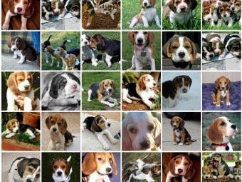 Cani Beagle