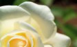 Foto rosa bianca