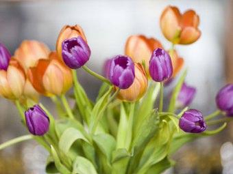 Immagini Di Fiori Tulipani