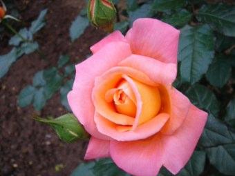 Piantare Le Rose