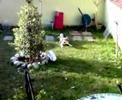 Beagle che caccia il coniglio