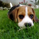 Cucciolo di Beagle video
