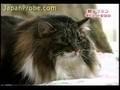 Gatto grasso video