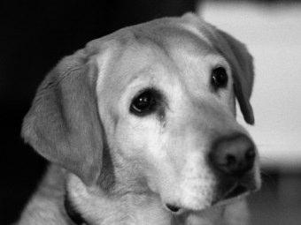 Immagini Labrador